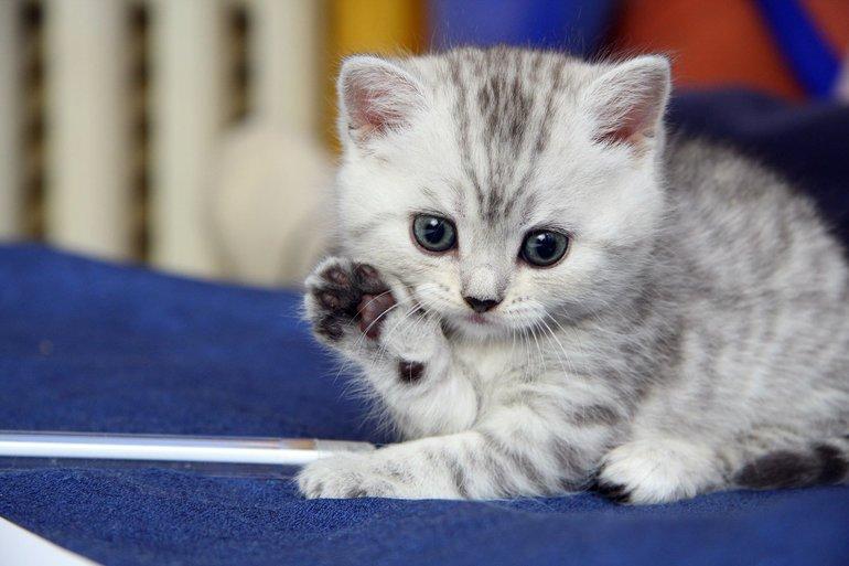 Правильная социализация котенка