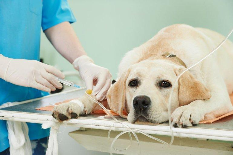 Микоплазмоз у щенка