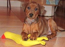 Немецкий пинчер – щенок с игрушкой