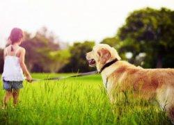 Лабрадор с девочкой на прогулке