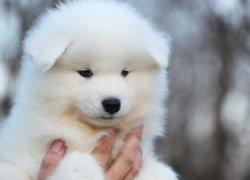 Щенок самоедской собаки
