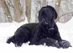 Черный пес на снегу