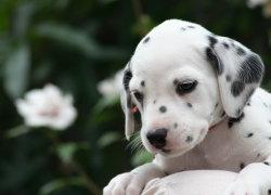 Милый щеночек с пятнами