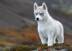 Щенок Сибирской Хаски в полный рост