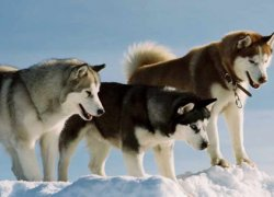 Три собаки Хаски на снегу