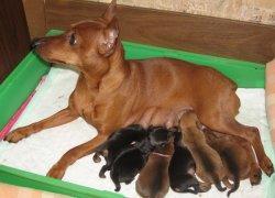 Цвергпинчер – щенки под опекой