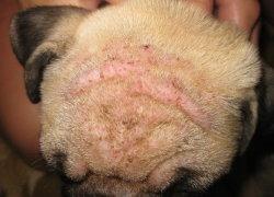 Голова собаки с очевидными красными пятнами