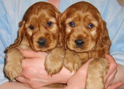 Два щенка кокер-спаниеля
