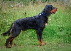 Собака шотландской породы
