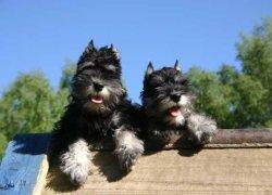 Два щенка цвергшнауцера