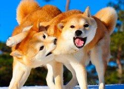 Собаки шиба-ину резвятся