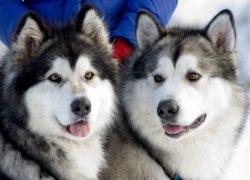 Два красивых аляскинских маламута