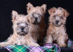 Три щенка керна