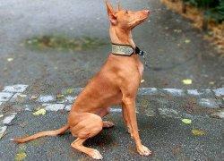 Порода Фараонова собака