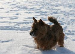 Норвич гуляет по снегу
