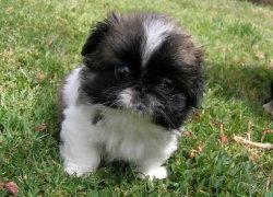 Маленький щенок Пекинеса