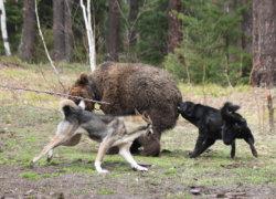 Собаки нападают на медведя