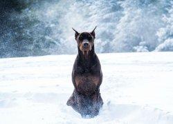 Доберман, бегущий в снегу