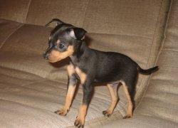 Щенок пражского крысарика на диване
