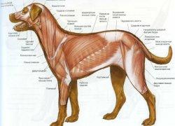 Мышечная анатомия собаки