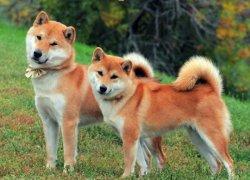 Две японские акиты