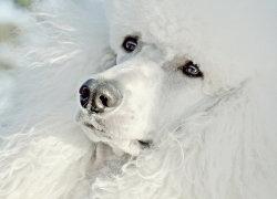 Белый красивый пес