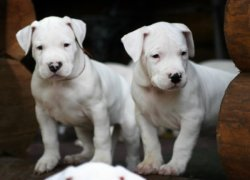 Два щенка аргентинского дога