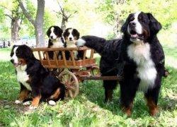 Бернский зенненхунд со щенками