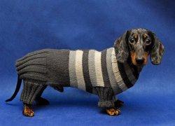 Такса в полосатом свитере