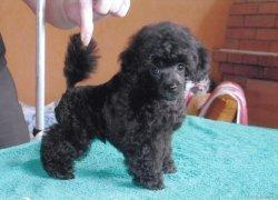 Черный щенок карлика