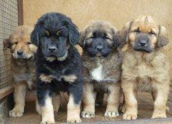 Бурят-монгольский волкодав – щенки