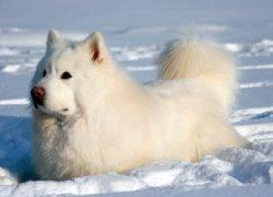 Маламут белого окраса в снегу