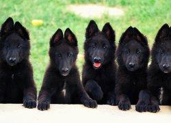 Четыре щенка черного окраса