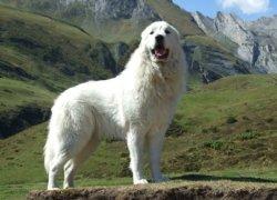 Пиренеец в горах