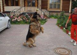 Собака играет мячиком