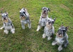 Пять собак породы миттельшнауцер