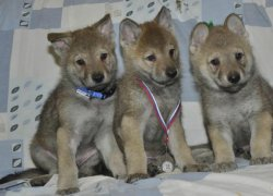 Три щенка чехословацкого влчака