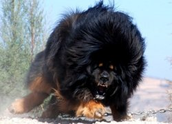 Тибетский мастиф в прыжке