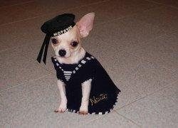 Чихуахуа в морском костюме