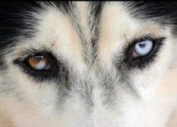 Разные глаза собаки крупным планом