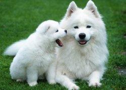 Самоед со щенком