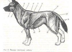Анатомия собаки