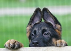 Взгляд щенка овчарки