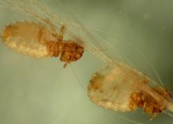 Пухоеды под микроскопом