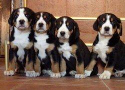 Зенненхаунд – щенки позируют