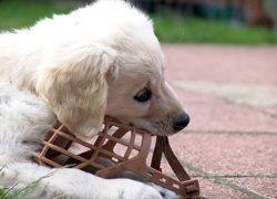 Пес грызет намордник