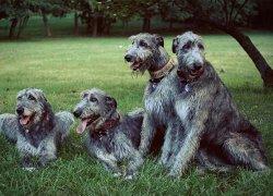 Четыре собаки породы Ирландский волкодав