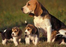 Охотничья собака с двумя щенками