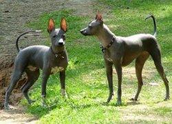 Две мексиканские собаки