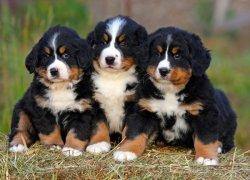 Три щенка швейцарской разновидности